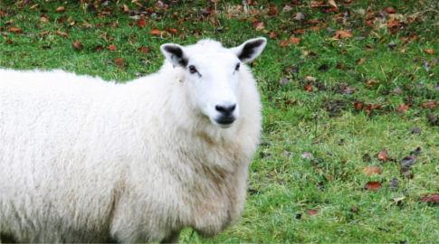 Gurl das Schaf