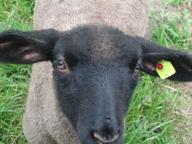 Hans, unser Schafsgast