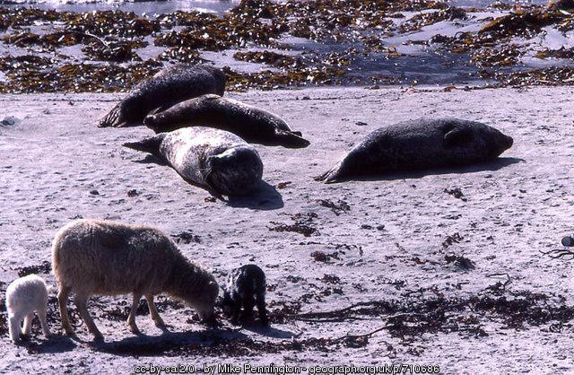 North Ronaldsay Schafe und Seehunde