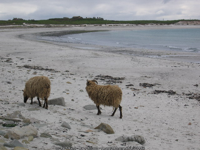 North Ronaldsay Schafe