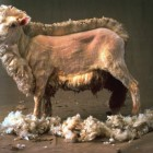 suitable sheep