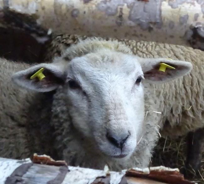 Ein Schaf aus Riga