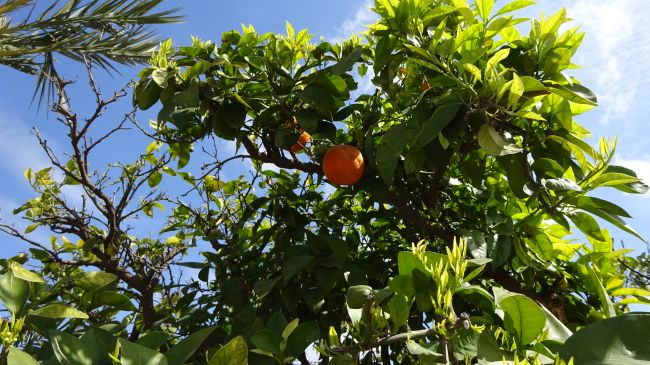 Orangen!