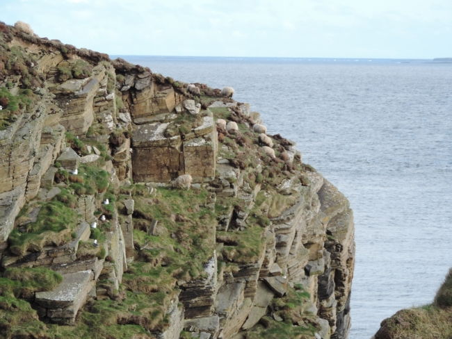 Wagemutige Schafe auf den Klippen
