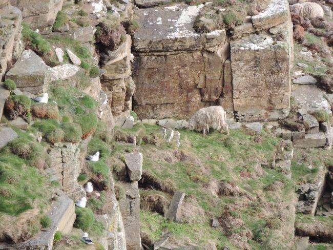 Schafe und brütende Möwen