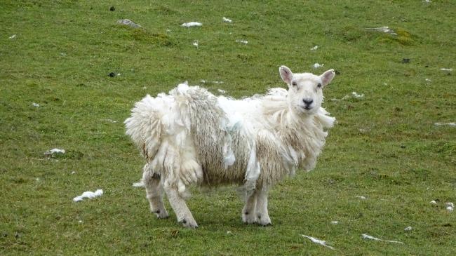 ungeschorenes Schaf