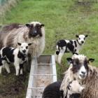 Marion Andersons Schafe