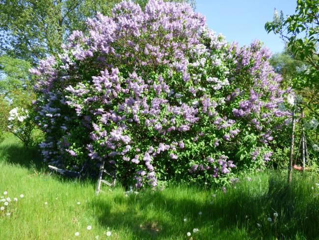 Gribower Fliederbusch