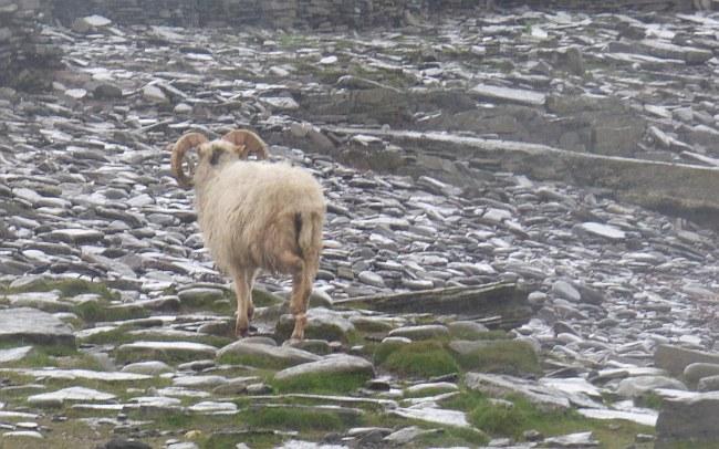 Schaf am Ufer