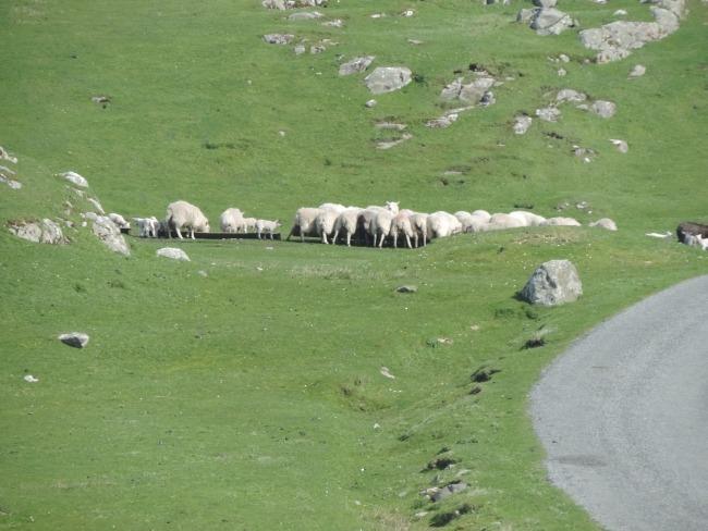 Wartende Schafe