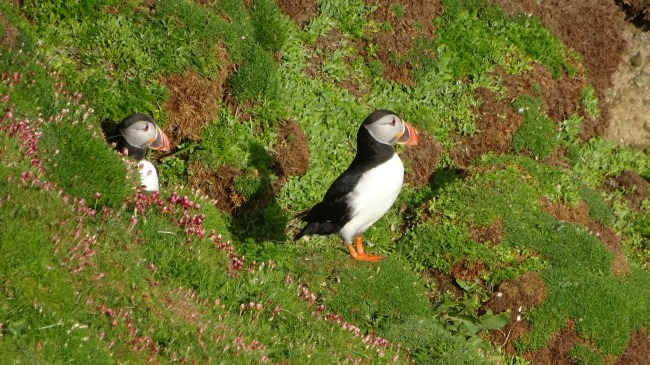 Puffin auf Sumburgh Height