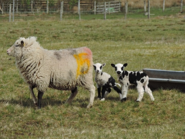 Marions Shetland-Schafe