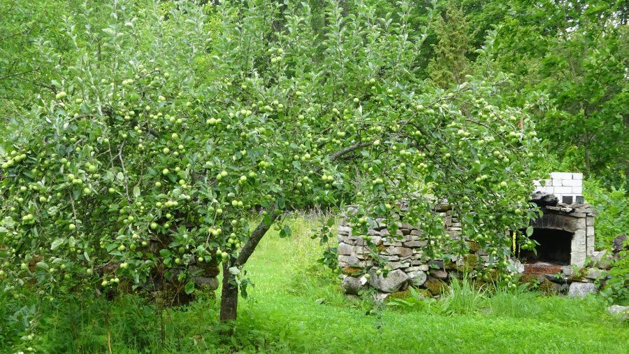 Apfelgarten in Koguva