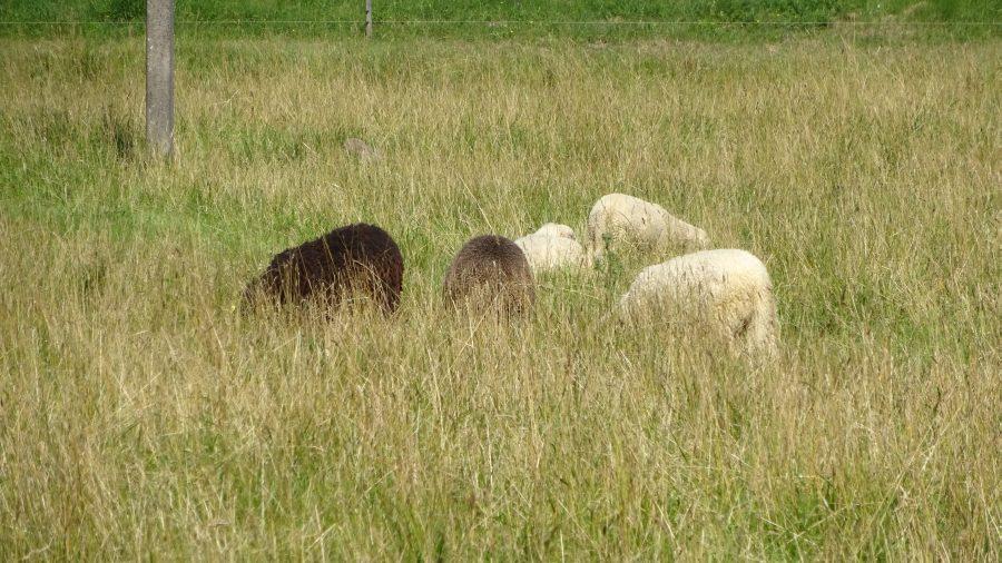 Schafe auf Hiumaa