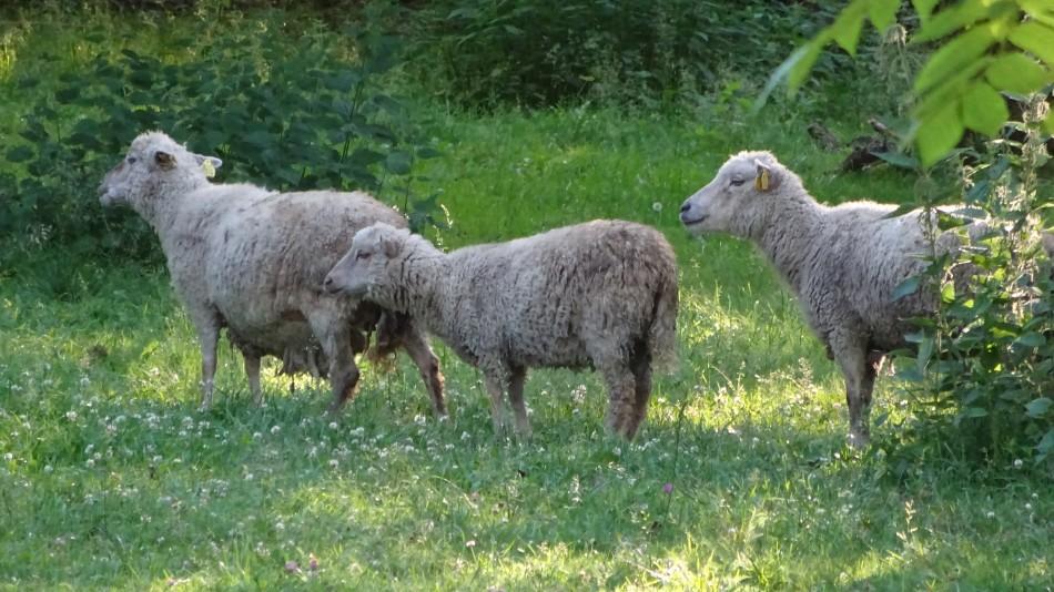 Kihnu-Schafe