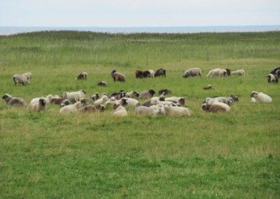Kihnu-Schafe auf der Insel