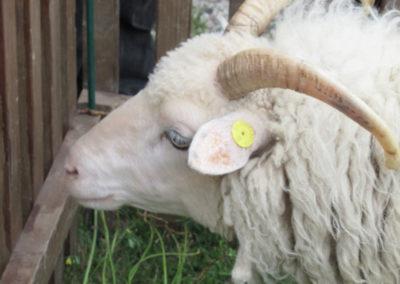 Ein Kihnu-Schaf