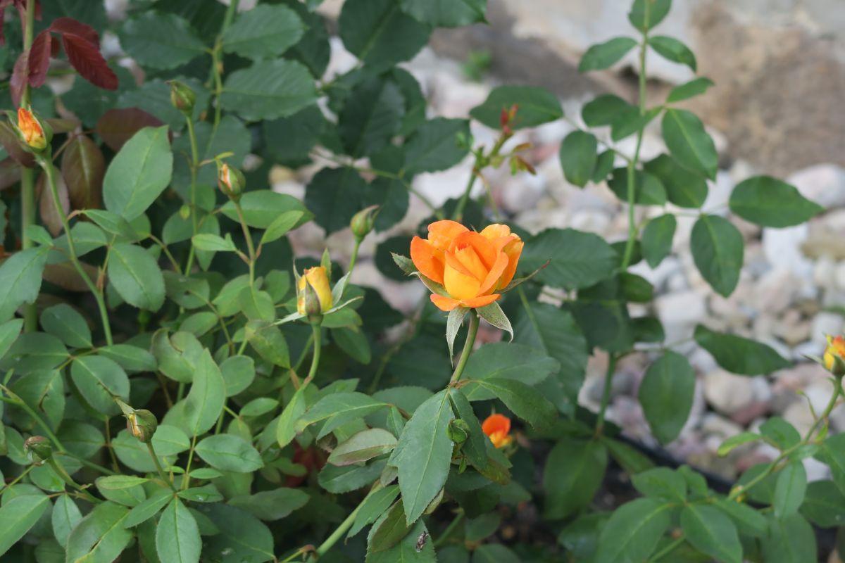 Rosen imPark von Jaunmoku